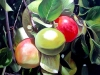 frutas_do_brasil_21