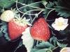 frutas_do_brasil_33