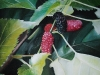 frutas_do_brasil_44