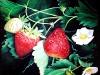 frutas_do_brasil_54